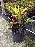 Codiaeum variegatum 'Stoplight', Croton - 3 Gallon Live Plant - 4 pack