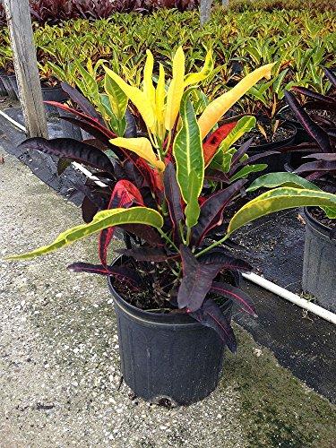 Codiaeum variegatum 'Stoplight', Croton - 3 Gallon Live Plant - 4 pack by PlantVine