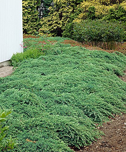 Prince of Wales Juniper Qty 15 Live Plants Evergreen Groundcover