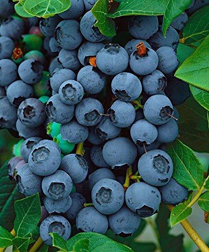 Blue Jay Blueberry Bush - Edible Fruit Berry Established - Quart Pot - 1 Plant