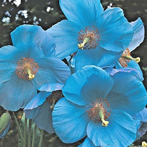 200 Iceland Poppy Seeds - Papaver Nudicaule