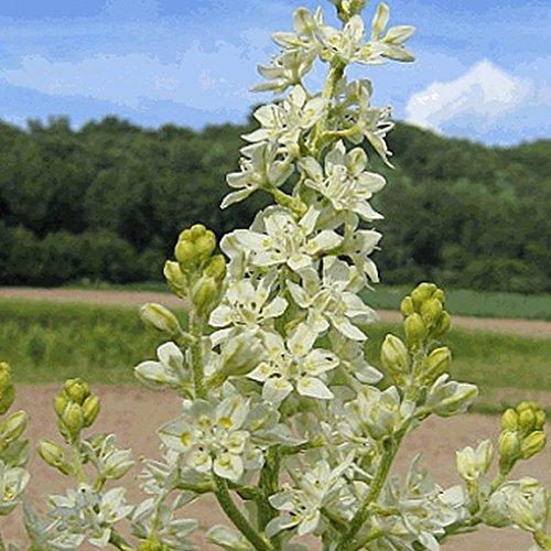 Everwilde Farms - 1/4 Lb Bunch Flower Native Wildflower Seeds - Gold Vault by Everwilde Farms