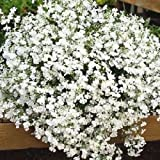 50+ LOBELIA REGATTA WHITE TRAILING PERENNIAL FLOWER SEEDS