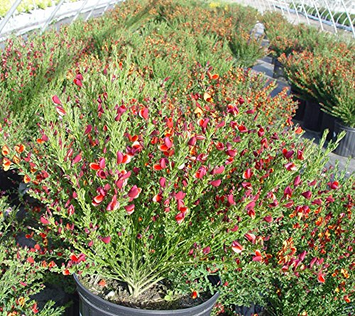 Cytisus sco. 'Lena' (Scotch Broom) Shrub, #3 - Size Container by Green Promise Farms (Image #2)