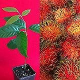 "Red Rambutan Nephelium LappaceumPlant Tree Seedling 7-12"""