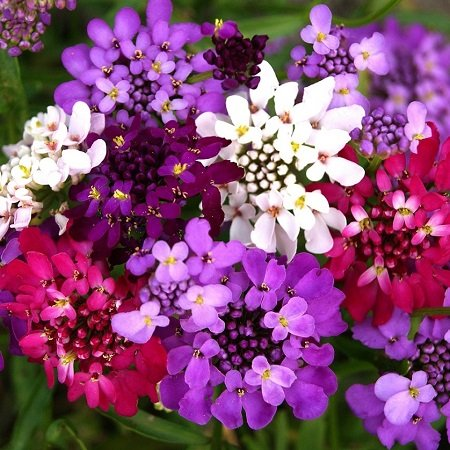 Candytuft Seeds (Dwarf) - Fairy Mix - Packet, Fragrant/Mixed Color Flowers in White/Pink/Purple