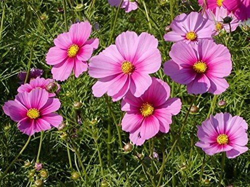 - Flower Seeds: Rose and red Mixed Cosmos Seeds of Flower Seeds everblooming Flowers Garden [Home Garden Seeds eco Pack] Plant Seeds by