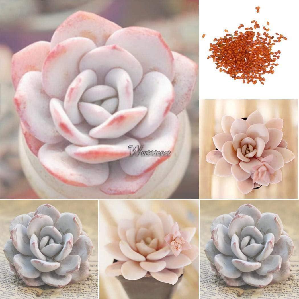 AGROBITS Rare Succulent Rose Bonsai Graines Echeveria Laui Graines WT88 01