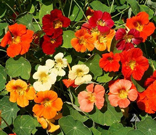 (Irish Eyes Garden Seeds- Tom Thumb Nasturtium 1/4)