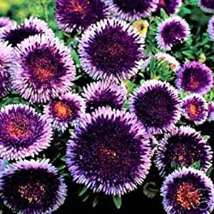NEW 20+ GIANT BLUE MOON ASTER FLOWER SEEDS