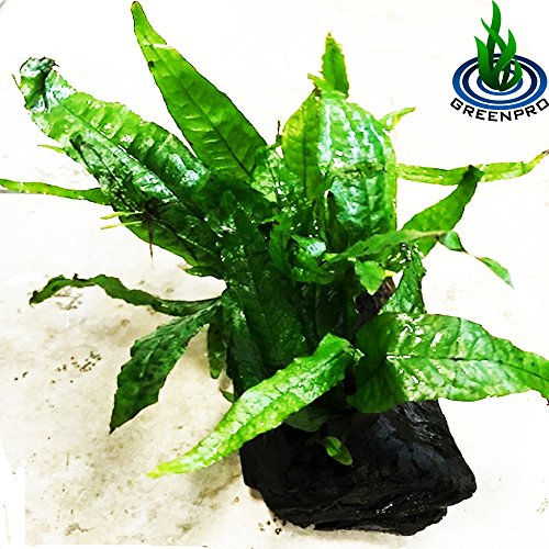 Picture of GreenPro Java Fern on Driftwood Live Aquarium Plants for Freshwater Fish Tank Water Plants Decorations