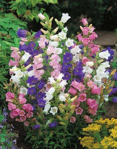 Campanula Plant (-Bulk- CANTERBURY BELLS -