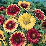 30+ GAILLARDIA Arizona Mix Flower Seeds/Rarely Offered Perennial