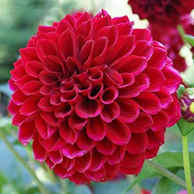 Oliote 50Pcs Dahlia Seeds Ornamental Bonsai Flower Plants Seeds Flowers : Garden & Outdoor