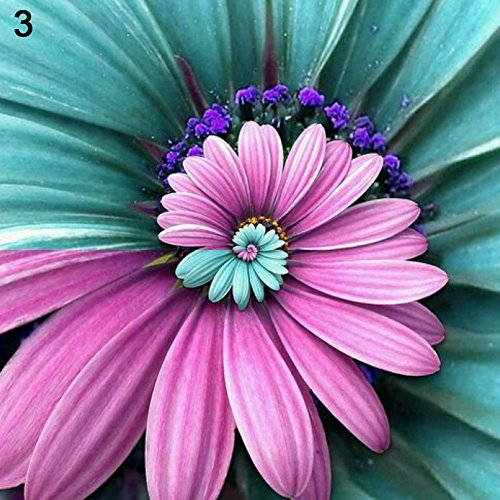 Narutosak 100Pcs Beautiful Miracle Daisy Rare Ornamental Garden Flowers Plant Bonsai Seeds - 3#