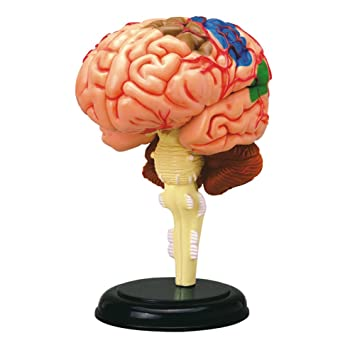 Human Brain Anatomy Model 4D Puzzle - Gehirnmodell-Puzzle: Amazon.de ...