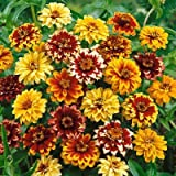 Mexican Zinnia Seeds - Persian Carpet - Packet, Maroon/Yellow/Orange Flowers