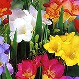 GARTHWAITE NURSERIES® : - 50 Single Freesia Bulbs Mixed Colours Scented Ideal For Rockery & Pots Perennial