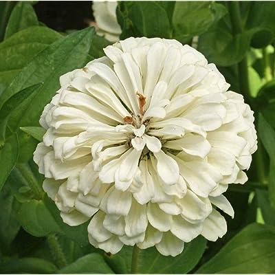 David's Garden Seeds Flower Zinnia Solid Color Polar Bear SL8551 (White) 500 Non-GMO, Heirloom Seeds : Garden & Outdoor
