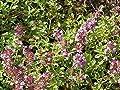 Creeping Thyme (2000 thru 5LB seeds) Rock Cress Flower Herb Garden #24