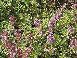 Creeping Thyme Herb Seeds Walk-on-me Violet Flower Garden Bin24 (128,000 Seeds)