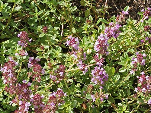 Creeping Thyme Herb Seeds Walk-on-me Violet Flower Garden Bin24 (128,000 Seeds)