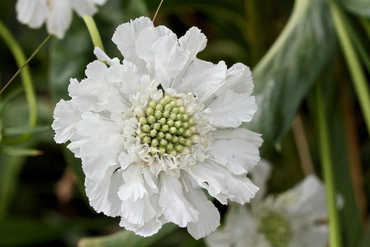 Amazon 25 Seeds White Pincushion Flower Seeds Scabiosa