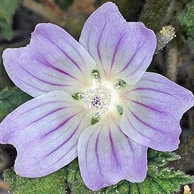 Common Mallow Seeds (Malva neglecta) 25+ Rare Medicinal Herb Seeds : Garden & Outdoor