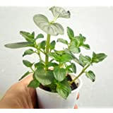 Peppermint Plants - Two Live Plants 100% Organic NON_GMO - Mentha x Piperita L. - Not seeds