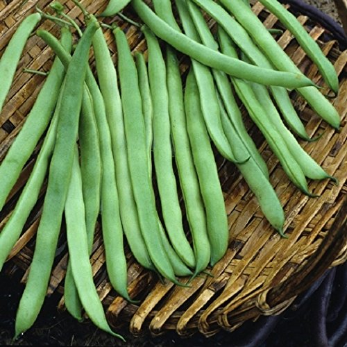 David's Garden Seeds Bean Pole Kentucky Wonder SV3544A (Green) 50 Orgnaic Heirloom Seeds (Wonder Kentucky Pole)
