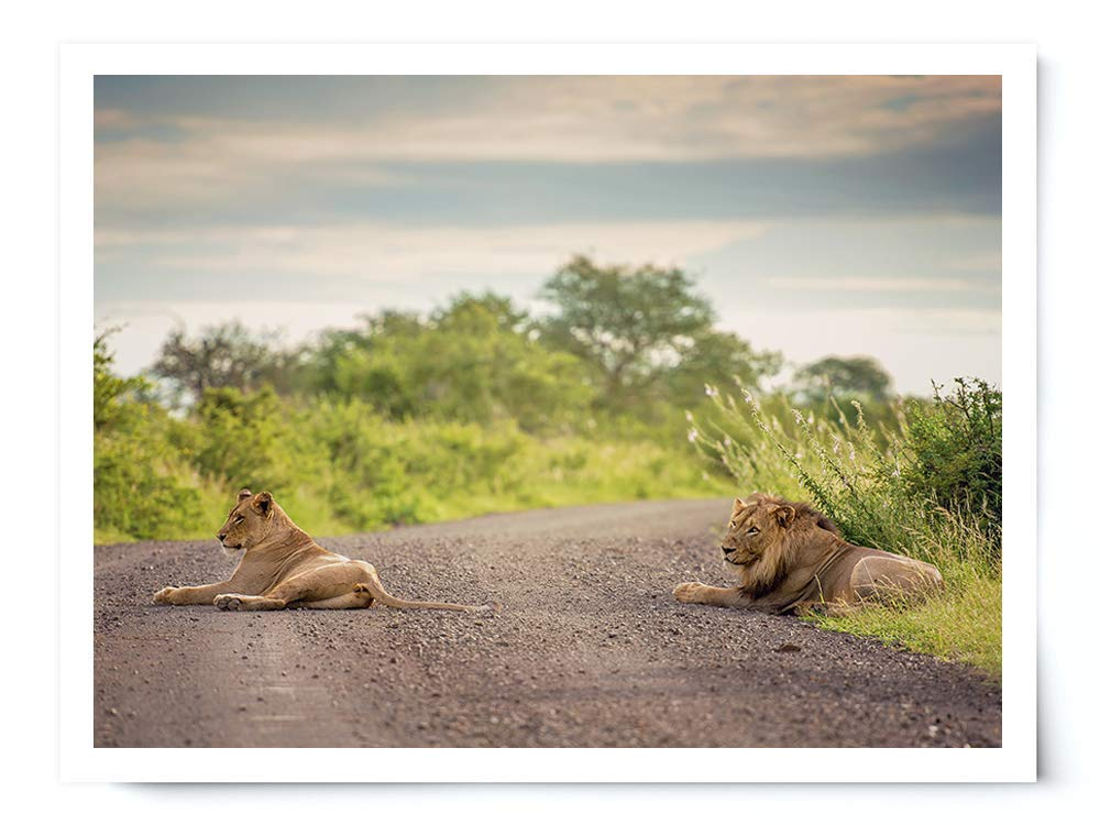 Pair of Lions - Wildlife Photograph Animal Picture Home Decor Wall Nature Print - Variety of Sizes Available