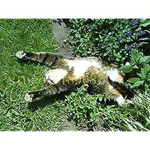 100 pcs cat mint Aromatic plants Catnip, Catnip seeds, Aromatic plants herb seeds for garden pet best gift