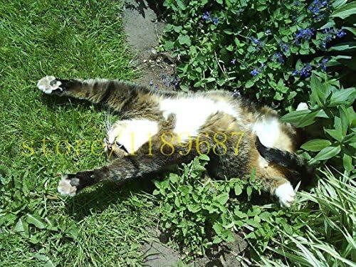 100 PC plantas aromáticas gato menta Catnip, Catnip semillas, las ...