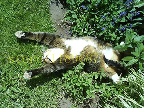 100 pcs cat mint Aromatic plants Catnip, Catnip seeds, Aromatic plants herb seeds for garden pet best gift SVI
