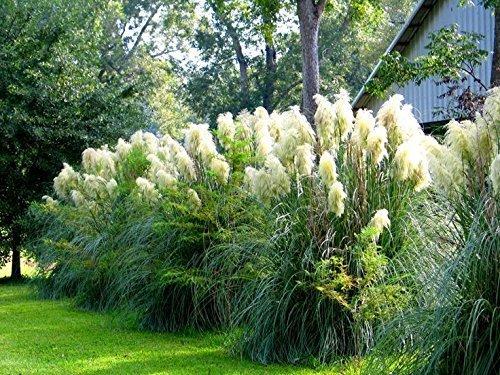 Pampas Grass Qty 15 Live Plants Cortaderia Selloana Showy Blooms by Florida Foliage (Image #5)