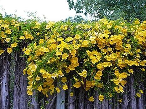 12 semillas macfadyena unguis-cati (Uña de Gato vid planta) interior para colgar cesta Plant: Amazon.es: Jardín