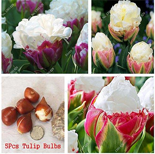 5 Es cierto que los bulbos del tulipán, (no tulipán Semillas), la flor de los bulbos de los tulipanes, planta de bricolaje exterior Rizoma, Bonsai Pot para jardín SVI
