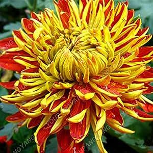 Semillas Semillas 200PCS crisantemo del arco iris de flores en maceta de Bonsai planta perenne Flores para jardín Plantar envío 10