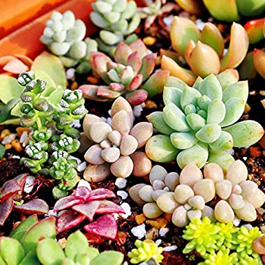 150pcs Mixed Succulent Seeds Lithops Rare Living Stones Plants Cactus Home Plant