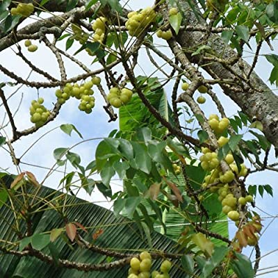 Plant World Seeds - Malay Gooseberry Seeds