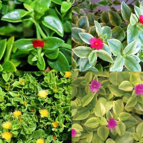Lot Bundle Set of 4 Colors Baby Sun Rose Jewel Heart Leaf Ice Plant Aptenia Cordifolia ()