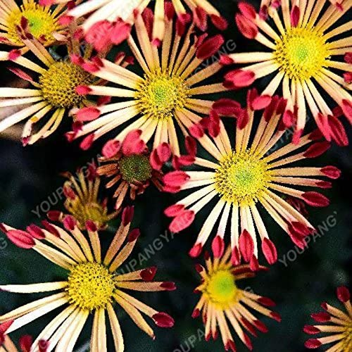 Gran venta! 100pcs Nuevas semillas de flor de la margarita llegada Semillas Semillas raras flor del crisantemo en maceta de plantas de semilla Inicio Jardín envío del crisantemo: Amazon.es: Jardín