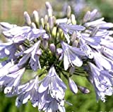 Agapanthus Streamline (1 Large Bulb) African Blue Lily Hardy,Lily of the Nile