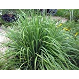 Amazon com : Ephedra Viridis Seeds - Green Ephedra - Green