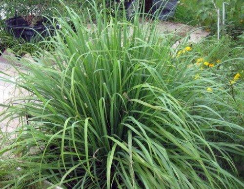 Lemon grass 50 seeds cymbopogon herb buy online in for Buy lemon seeds online