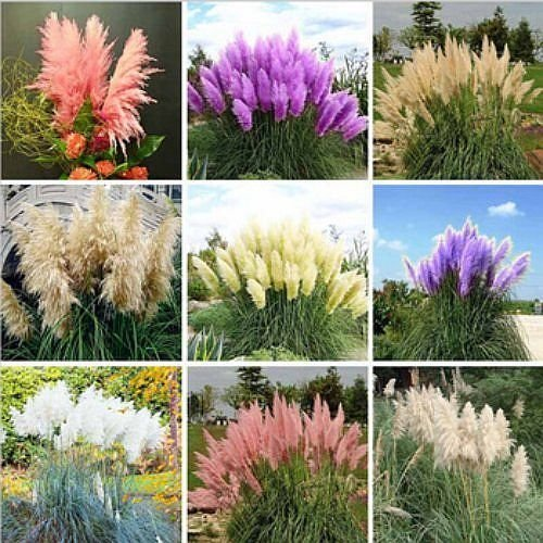 200 Seeds Pampas Grass G2, Mixed Colors Purple, Pink, Cream, Orange Cream White ()