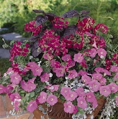 Geranium Ivy Summer Showers Series Fuchsia (Geranium Summer Showers)