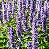 Outsidepride Agastache Rugosa Korean Mint Herb Seeds - 500 Seeds