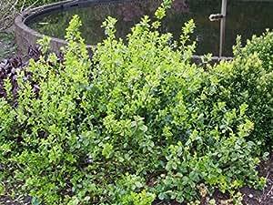1 Starter Plant of Euonymus Vegetus