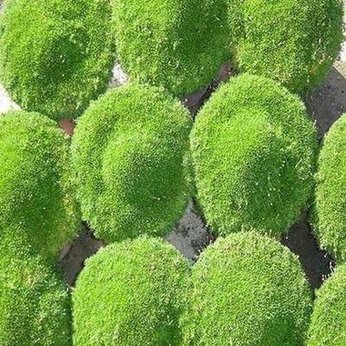 200+Seeds Sagina Subulata Irish Moss Ground Cover Seeds
